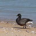 Les oiseaux du littoral atlantique